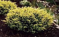Тис ягодный 'Elegantissima' - Taxus baccata 'Elegantissima'