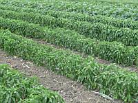 Овощное хозяйство под Мелитополем