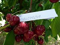 Сорта черешни в Мелитополе