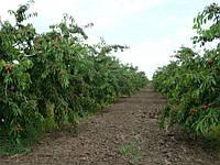 Деревья Черешни поникли под нагрузкой урожая, Мелитополь, 2015