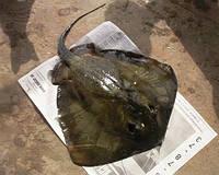 Скат хвостокол черноморский 5-14 кг/шт