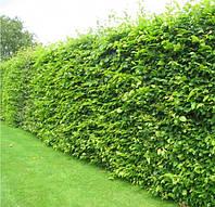 Саженцы граба для живой изгороди (зеленая изгородь)