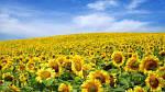 В Украине будет увеличиваться количество подсолнечника