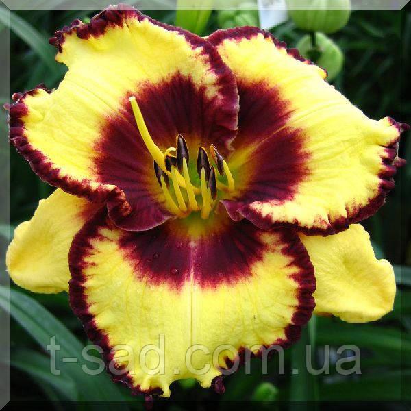 Лилейник Calico Jack крупноцветковый