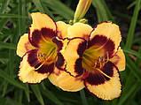 Лилейник Calico Jack крупноцветковый, фото 2