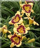 Лилейник Calico Jack крупноцветковый, фото 3