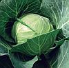 БАЙОНЕТ F1 - семена капусты белокочанной 2 500 семян, Bejo Zaden