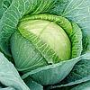 МЕГАТОН F1 - насіння капусти білоголової 2 500 насіння, Bejo Zaden