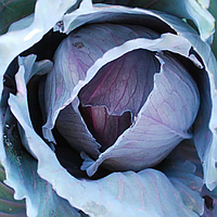 РАНЧЕРО F1 - семена капусты краснокочанной 2 500 семян, Bejo Zaden