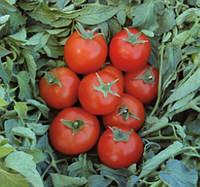 ТОПСПОРТ F1 - семена томата детерминатного 5 грамм, Bejo Zaden