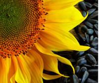 Семена подсолнечника  сорт Лакомка 1 репродукция