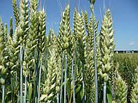 Удобрение для зерновых ячменя, овса, проса, риса, ржи, тритикале, пшеницы Минералис, фото 1
