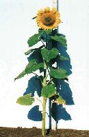 Семена подсолнечника Казачий 1 репродукция