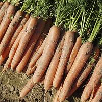 Нарбонне F1 насіння моркви Нантес PR (1,6-1,8 мм)