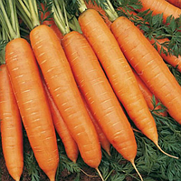 БАНГОР F1 насіння моркви Берликум PR 1млн (1,6-1,8 мм)