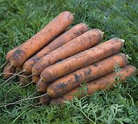 Номинатор F1 насіння моркви Нантес (1,6-1,8 мм)