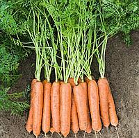 Ньюкасл F1 насіння моркви Нантес PR (1,6-1,8 мм)