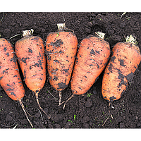 Арго семена моркови (Lucky Seed, Украина)