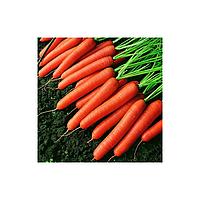 Темпо F1 семена моркови (Vilmorin, Франция)