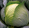 ЛЕОПОЛЬД F1 - семена капусты белокочанной, 2 500 семян, Bejo Zaden