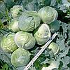СИНТЕКС F1 - семена капусты белокочанной, 2 500 семян, Bejo Zaden