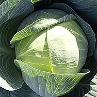 ЦИКЛОН F1 - семена капусты белокочанной, 2 500 семян, Bejo Zaden, фото 1
