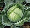 СЕПТИМА F1 - семена капусты белокочанной калиброванные, 1 000 семян, Rijk Zwaan