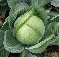 СЕПТИМА F1 - семена капусты белокочанной калиброванные, 1 000 семян, Rijk Zwaan, фото 1
