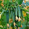 АНЗОР F1 - семена огурца партенокарпического, 250 семян, Bejo Zaden