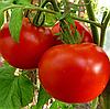 ПОЛОНЕЗ F1 - семена томата детерминатного, 5 грамм, Bejo Zaden