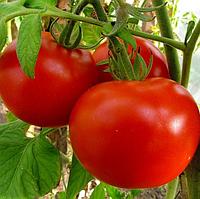 ПОЛОНЕЗ F1 - семена томата детерминатного, 5 грамм, Bejo Zaden, фото 1