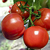 ПОЛФАСТ F1 - семена томата детерминатного, 5 грамм, Bejo Zaden