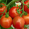 РИЧИ F1 - семена томата детерминатного, 5 грамм, Bejo Zaden
