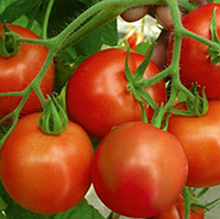 РИЧИ F1 - семена томата детерминатного, 5 грамм, Bejo Zaden, фото 1