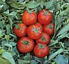 ТОПСПОРТ F1 - семена томата детерминатного, 5 грамм, Bejo Zaden
