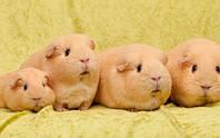Морские свинки: десять эффектных пород