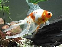 Самые красивые аквариумные рыбки: ТОП-10