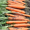 Нерак F1 семена моркови Нантес PR (1,6-1,8 мм)