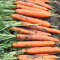 Нерак F1 семена моркови Нантес PR (1,6-1,8 мм), фото 1