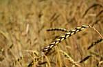 ФАО озвучивает предполагаемые прогнозы касаемо урожая зерновых и технических культур в 2016 году.