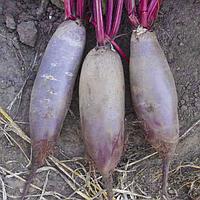 ТАУНУС F1 - семена свеклы столовой PR 10 000 семян, Bejo Zaden