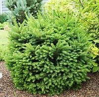 Ель обыкновенная Барри (Picea abies Barryi), фото 1