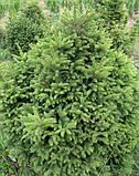 Ялина звичайна Баррі (Picea abies Barryi), фото 2