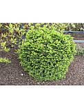 Ялина звичайна Баррі (Picea abies Barryi), фото 3