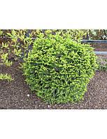 Ель обыкновенная Барри Р9 (Picea abies Barryi), фото 1
