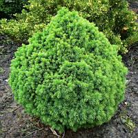 Ель канадская Альберта Глобе С2 ( Picea glauca Alberta Globe )