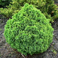Ель канадская Альберта Глобе С2 ( Picea glauca Alberta Globe ), фото 1