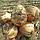 ДЕРБИ F1 - семена лука репчатого 250 000 семян, Bejo Zaden, фото 2