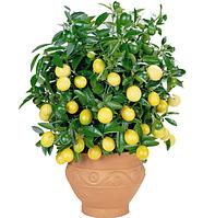 Лимон бонсай, вкусная красота + доставка 0 грн