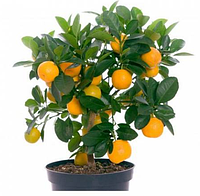 Апельсин бонсай, вкусная красота + доставка 0 грн